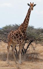 DSC_9560 (stephanelhote) Tags: animaux parc etosha afrique namibie éléphants zambie himbas guépards