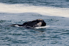 Southern right whale by the cliffs of Hermanus, Western Cape, South Africa (Inti Runa) Tags: fauna southafrica mammal wildlife indianocean whale walvis mammifère westerncape baleine canonef100400mmlis canon7dmarkii