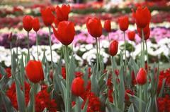 Tulips (Christopher Goode) Tags: carnival flowers 2 cold slr film nature gardens analog 35mm 1 colours fuji d australia slide olympus september velvia queensland series analogue om 50 vivitar e6 om2 toowoomba 2014 reversal 2835 2890