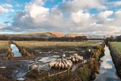 Winter morning in Dysynni valley (babs pix) Tags: wales reflections westwales sheep snowdonia cadairidris birdrock dysynni bryncrug birdrockcadairidris snowdoniamountainsandcoast craigyraderynbirdrock dysynnirivertywyn