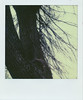 Up a tree (alienmeatsack) Tags: brown tree polaroid sx70 branches sunday dreary bark instant sortof impossibleproject