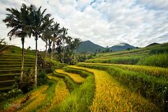 IMG_0974_Morning From Bali (gedelila) Tags: bali advertising rice stockphoto jatiluwih tabanan sorga topphotographer subak pulaudewata gedelila indahelok pulauterindah topbudaya lpadi