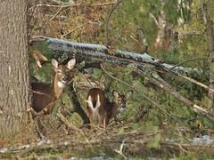 White-tailed Deer Feeding Along A Road (Bill Bunn) Tags: maine falmouth whitetaileddeer