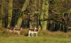 Wildpark Dlmen - Fallow deer (joeke pieters) Tags: trees winter light tree nature bomen december wildlife ngc boom fallowdeer damhirsch damhert platinumheartaward wildparkdlmen panasonicdmcfz150 1190711