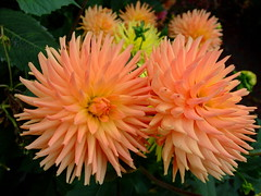 Dahlia (yewchan) Tags: dahlia flowers flower nature colors beautiful beauty closeup garden flora colours gardening vibrant blossoms blooms lovely dahlias