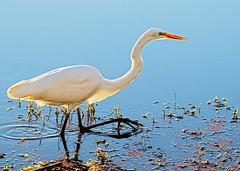 Spotlight (Team Hymas) Tags: white water washington wildlife hunting backlit egret refuge ridgefield