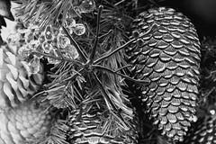 Star - Botanical Garden (Greyframe) Tags: snowflake christmas new york blackandwhite snow newyork black closeup ball garden botanical grey star branch close crystal starfish cone bronx flake diamond ornament fir botanic christmasdecoration pearl grainy noise garten noisy tannenbaum tannenzapfen tanne botanischer botanisch greyframe