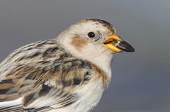 "snow bunting ("" yer tis my ansome "") Tags: winter water birds canon eyes beak devon exeter dartmoor alphington westcountry plumage snowbunting powderham exeestuary grayclements"