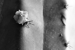 Fruitful New Year! (d_t_vos) Tags: new cactus blackandwhite bw white abstract black detail closeup contrast hope spring shoot newyear beginning wishes wish thorn hopeful onset newyearsgreetings newbeginning prickle 2015 fruitful dickvos dtvos