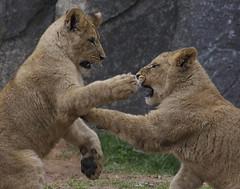 """Why I outta..."" (ucumari photography) Tags: animal mammal zoo cub nc north january lion carolina 2015 leoleo dsc0656 specanimal ucumariphotography"