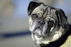 Pugmeetup_2015_January_OB-41 (geekteach) Tags: pug pugs dogbeach pedersen 2015 pugmeetup