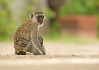 Vervet Monkey -Beach Mom -