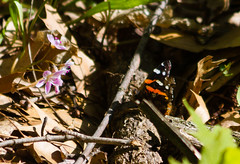Red Admiral Butterfly (Arlen Breiholz) Tags: usa animals wildlife insects places iowa cameras cedarrapids linncounty butterfliesmoths canoneos7d indiancreekwoods