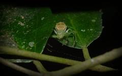 Poecilothomisus sp. nova (dustaway) Tags: nature rainforest australia nsw arthropoda crabspider rotarypark arachnida lismore australianwildlife araneae araneomorphae thomisidae australianspiders northernrivers thomisinae poecilothomisus