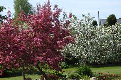Punane ja valge (Jaan Keinaste) Tags: red white nature estonia blossom appletree eesti loodus is unapuu valge punane olympussh1