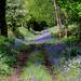 Bluebells at Hembury