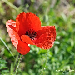 Papavero (Elly212) Tags: red primavera field grass blood rojo bokeh country erba poppy di campo prado mm 50 yerba fiore rosso prato sangre trentino sangue hierba papavero adormidera civezzano