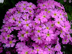 Poison primrose (yewchan) Tags: flowers flower nature colors beautiful beauty closeup garden flora colours gardening vibrant blossoms blooms lovely primula primose poisonprimrose