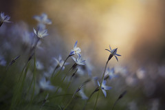 the stars came out to play (Lamson Noswen (c'lamson)) Tags: blue floral stars spring bokeh meadow lamson