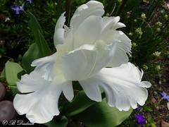 Schn und vergnglich (Fotoamsel) Tags: natur pflanzen blumen garten frhling tulpe