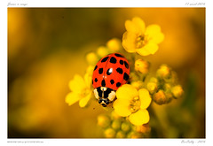 Au jardin (BerColly) Tags: light france flower macro fleur garden insect google flickr bokeh flash jardin ladybug auvergne insecte coccinelle puydedome bercolly