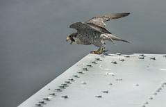 Throgs Neck Bridge Falcons (MTAPhotos) Tags: falcons verrazanonarrowsbridge verrazanonarrows throgsneckbridge peregrinefalcons marineparkwaygilhodgesmemorialbridge marineparkwaybridge bridgesandtunnels