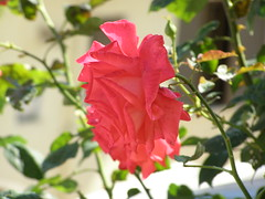 (Psinthos.Net) Tags: morning flowers roses leaves spring alley day blossom may rosebush sunnyday       psinthos