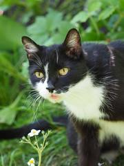 Wiosna Frhling Spring (arjuna_zbycho) Tags: pet cats pets cute animal animals cat blackcat spring kitten feline chat felix kitty kittens tuxedo gato tuxedocat gatto katzen haustier kater tier frhling wiosna gattini hauskatze