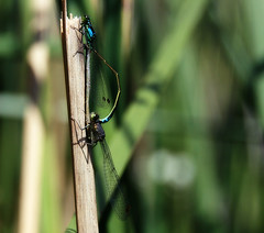 More like a flat tire, amiright? (TJ Gehling) Tags: sex insect mating elcerrito damselfly forktail odonata zygoptera coenagrionidae ischnura ischnuracervula canyontrailpark wheelposition