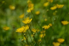 Buttercups (Sandra Kirly Pictures) Tags: flowers spring outdoor poland krakw cracow botanicalgarden buttercups ogrdbotaniczny