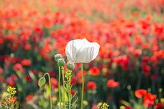 Amapola blanca (lugarlu) Tags: naturaleza flores amapolas nikond7000