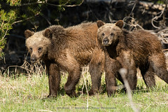Grizzly Siblings, GTNP.7370.jpg (jabone101) Tags: arches canyonlands utahlandscape