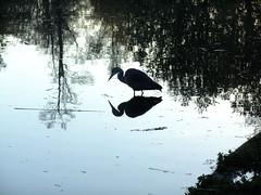 Early bird (g.rokke) Tags: morning holland reflection bird netherlands amsterdam sunrise early nederland fugl vondelpark morgen vogel noordholland tidlig zonsopgang soloppgang speilbilde vroeg northholland