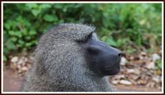 Portrait (tor-falke) Tags: africa wild portrait animal animals african wildlife ngorongoro frame afrika baboon animaux tier affen afrique pavian tansania fotorahmen afrikanwildlife
