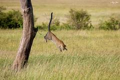 Leaping off (V I J U) Tags: africa travel cats tree nature jumping action kenya wildlife safari leopard ke mammals leaping masaimara 2016 ef100400mmf4556lisusm narok canon5dmarkiii vijujose