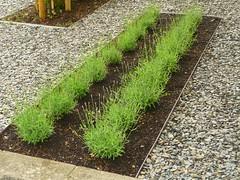 Lavendel-Sequenz (Jrg Paul Kaspari) Tags: garten angustifolia lavendel schiefer lavandula sequenz schiefermulch alukante lavendelbeet gartenaltmeyer