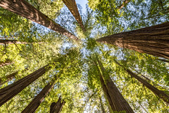 The Giants (Jill Clardy) Tags: california county wood trees forest ancient explore crown tall redwood majestic sequoia redwoodhighway avenueofthegiants humboldtredwoodsstatepark explored 201606294b4a3136hdr