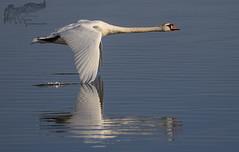 Swan 6_11 (krisinct- Thanks for 12 Million views!) Tags: canon 500 f4 1d4