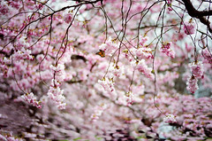 Nothing is impossible, the word itself says 'I'm possible'! (Eloisa Leclerc) Tags: pink trees love nature japan butterfly cherryblossom sakura kbenhavn bispebjergkirkegrd visitdenmark