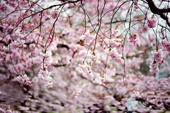 """Nothing is impossible, the word itself says 'I'm possible'!"" (Eloisa Leclerc) Tags: pink trees love nature japan butterfly cherryblossom sakura københavn bispebjergkirkegård visitdenmark"