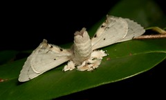 Bombycid Silkmoth (Penicillifera cf. lactea, Bombycidae) (John Horstman (itchydogimages, SINOBUG)) Tags: insect macro china yunnan itchydogimages sinobug moth lepidoptera black silk silkmoth bombycidae fbm tweet