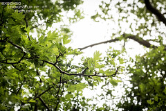8x50x50 - Looking Up At the Leaves (Forty-9) Tags: trees green leaves june canon 50mm branches underside thursday ef50mmf18ii lightroom 2016 canonef50mmf18ii niftyfifty eflens forty9 eos60d lookingupattheleaves 50x50x50 tomoskay niftyfiftyproject 23rdjune2016 23062016 50x50x50project 8x50x50