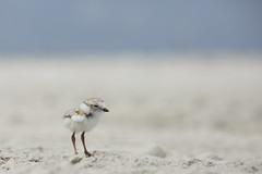 PIPL Baby (Lisa Franceski) Tags: babies shorebird charadriusmelodus pipingploverchick pipingploverbaby lisafranceski shorebirdbabies shorebirdsoflongisland lisafranceskiwildlifephotography