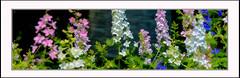 Summer (Summerside90) Tags: june summer backyard garden larkspur nature wildlife ontario canada