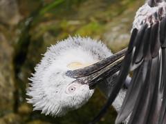P1010415 (lychee_vanilla) Tags: bird animal zoo pelikan mnster vogel pelecanus zoomnster