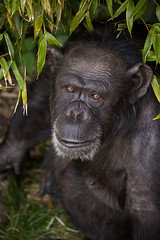 Lucy (greenzowie) Tags: animal june mammal zoo edinburgh chimpanzee edinburghzoo 2016 photographyworkshop greenzowie