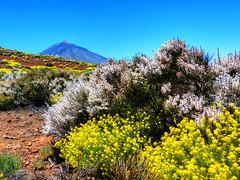 Vida en el Parque (etoma) Tags: tenerife teide islascanarias retama parquenacionaldelteide hierbapajonera