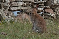 Rolf_Nagel-Fl-0812-Lepus_timidus (Insektenflug) Tags: mountain fauna mammal hare european sweden wildlife schweden sverige hase land schneehase sugetier lagomorpha leporidae lepus timidus mountainhare lepustimidus skogshare