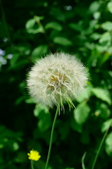 Pusteblume (Lutz Blohm) Tags: natur makro lwenzahn pusteblume naturfoto makroobjektiv fe90mm sonyalpha7aii