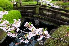 Sensoji XI (Douguerreotype) Tags: bridge pink fish water japan river garden cherry temple tokyo petals moss shrine blossom buddhist koi cherryblossom sakura carp